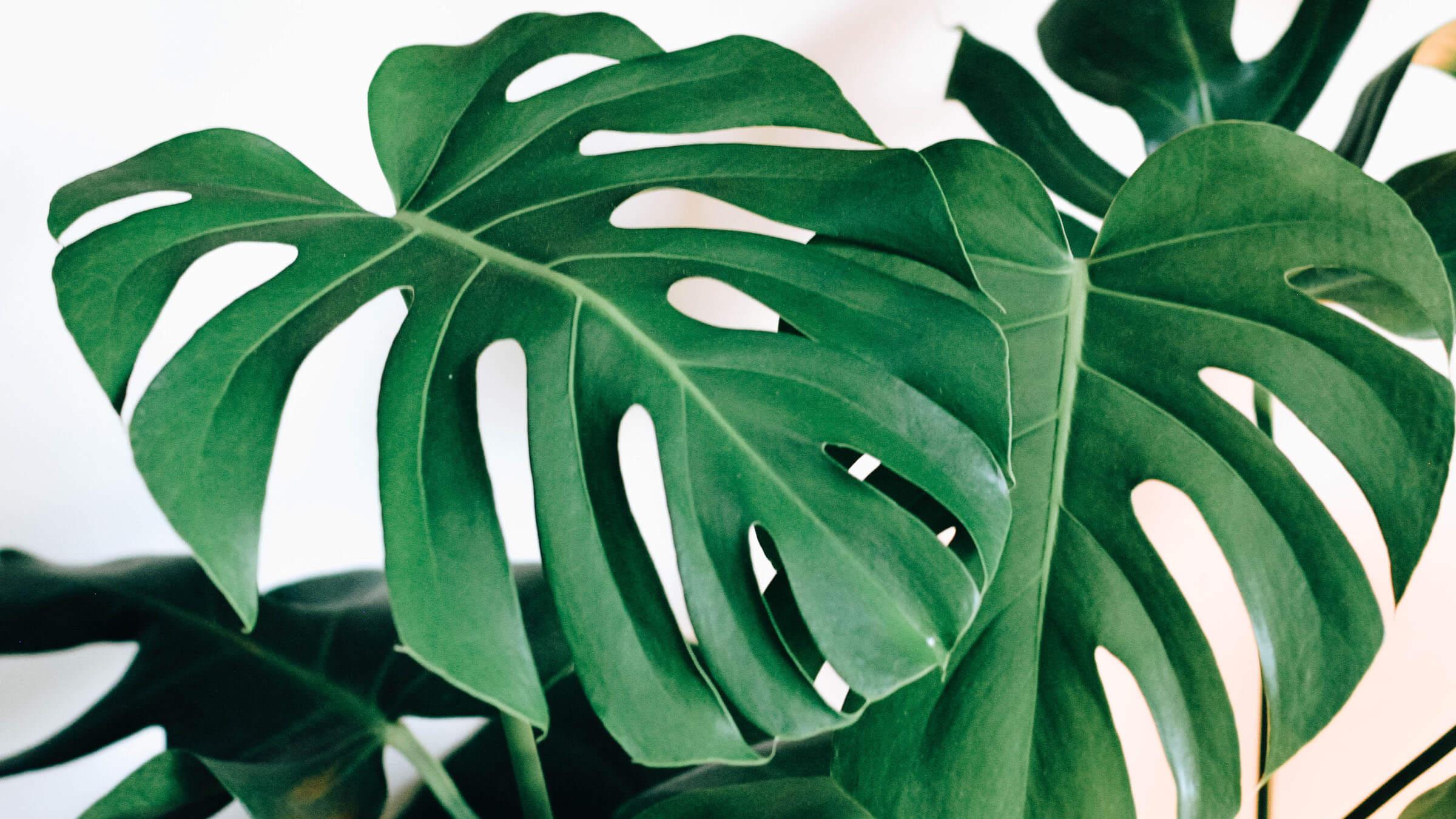Trendwatch The Monstera Leaf Amex Essentials